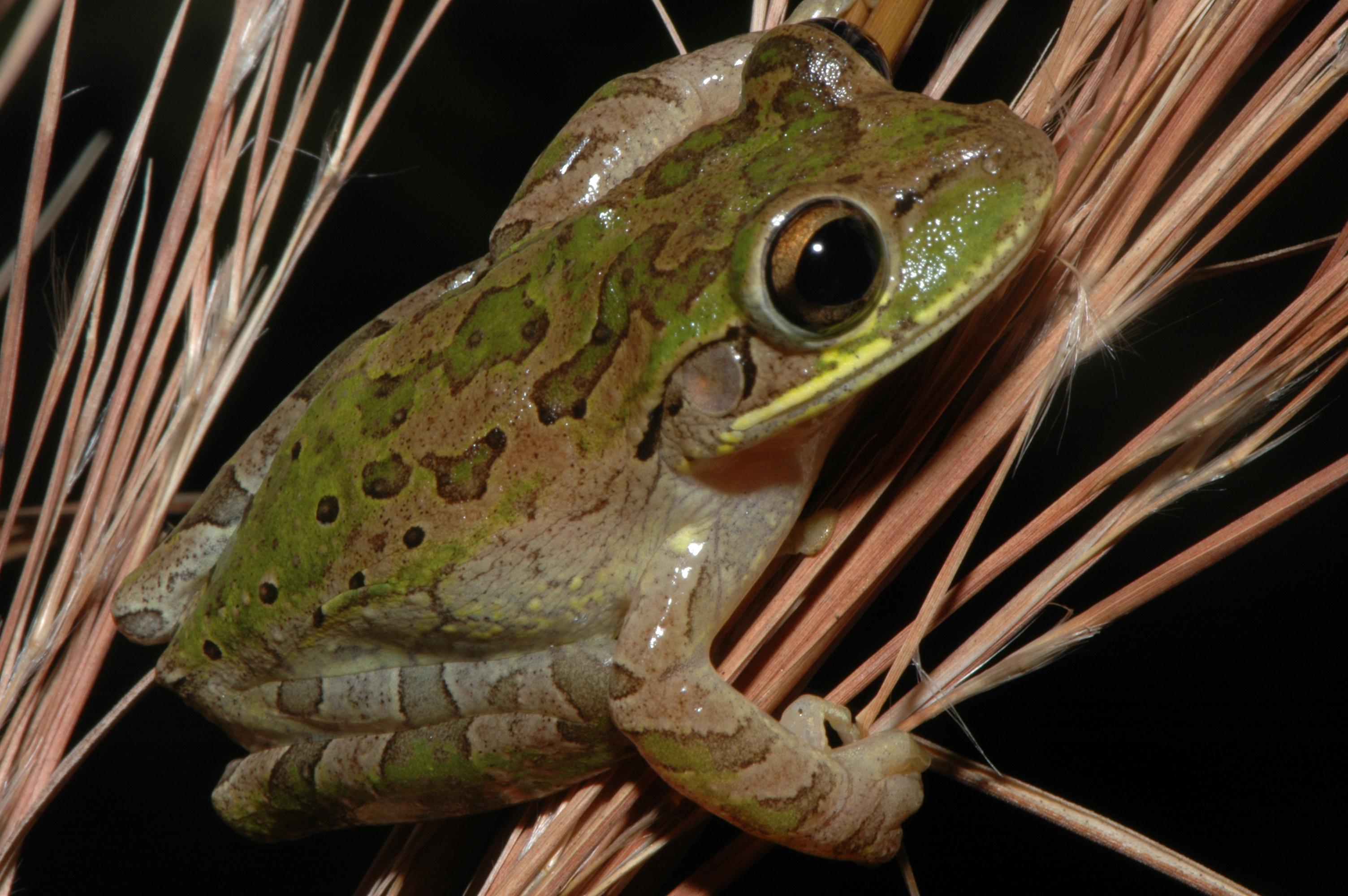 Cuban Treefrog Everglades Cisma