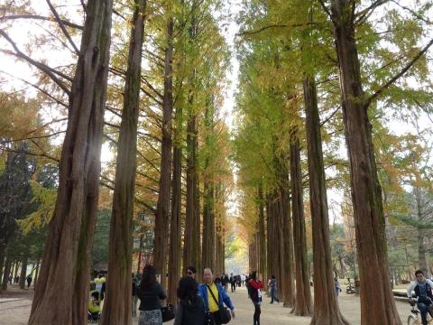 The famous footpath with metasequoia trees