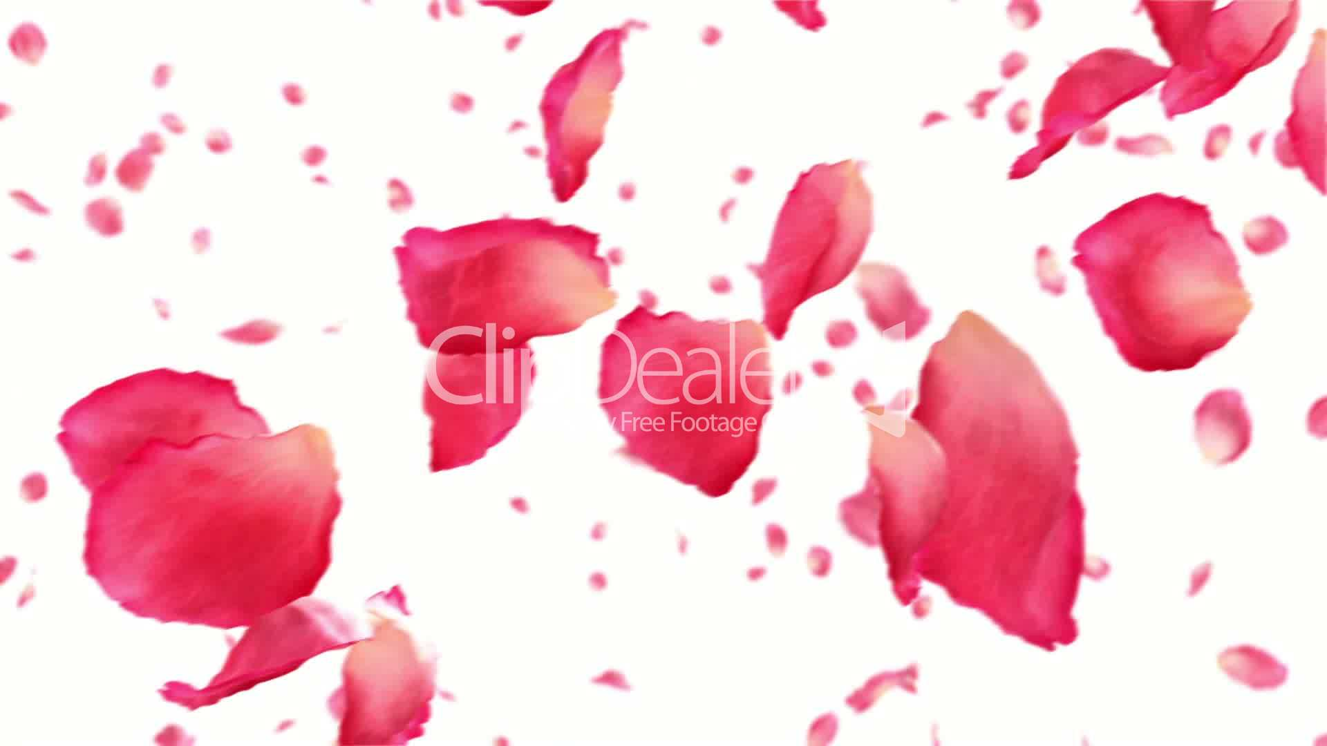 Flying Rose Petals On White HD 1080 Looped Animation