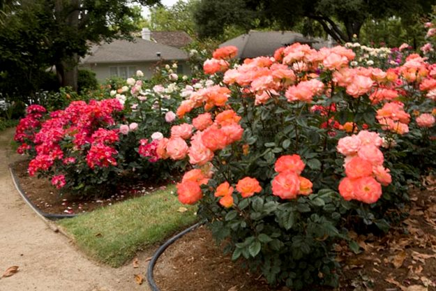 The rose bush is a native plant to Ohio