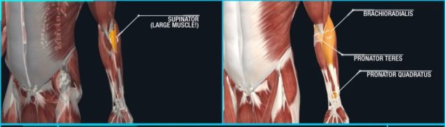 Forearm pronation and supination muscles