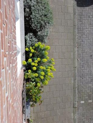 Euphorbia in geveltuin bovenaanzicht