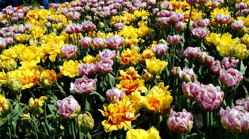 Tulipany w Ogrodzie Botanicznym w Łodzi