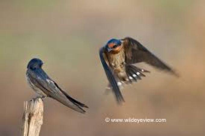 Budidaya Burung Walet. Perhatian Terhadap Hama