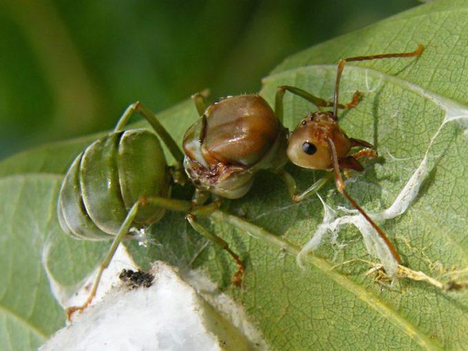 Jenis Semut Rangrang dalam Koloni. Ratu Semut