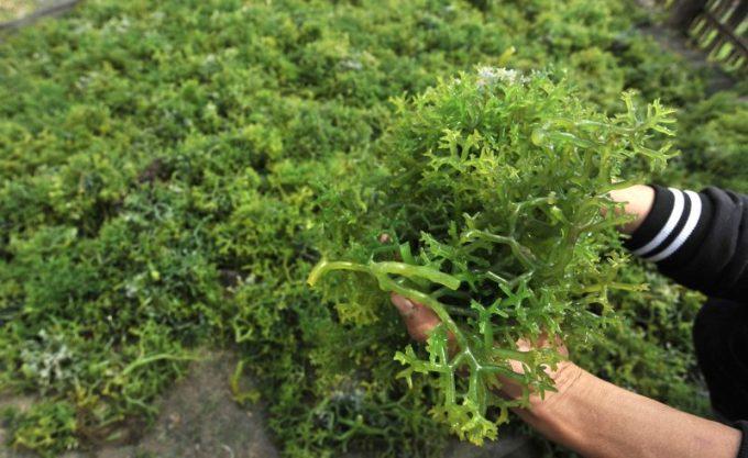 Cara Budidaya Rumput Laut. Panen Eucheuma cottonii