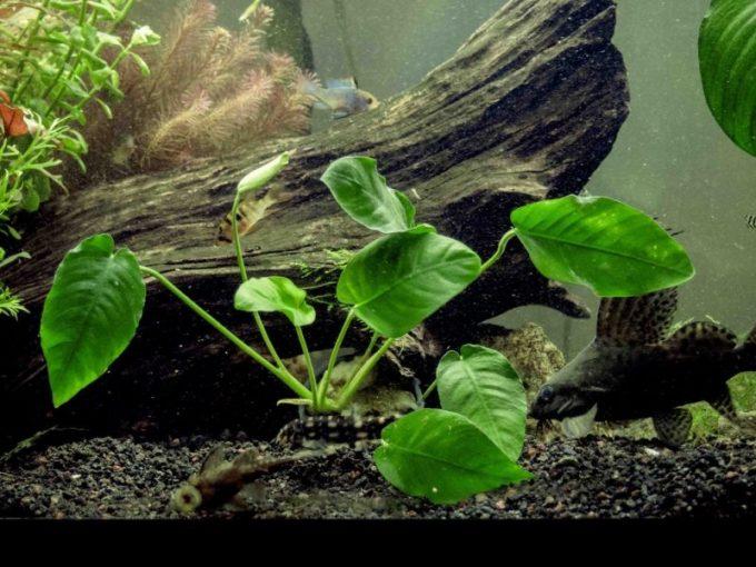 Tumbuhan yang Hidup di Air. Anubias