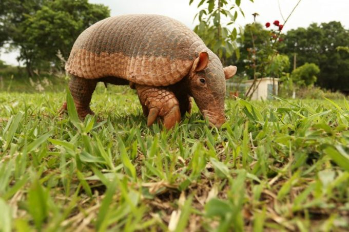 Bps Giant Armadillo