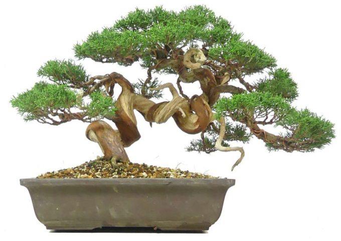 Tanaman Hias Akar. Juniperus chinensis Bonsai