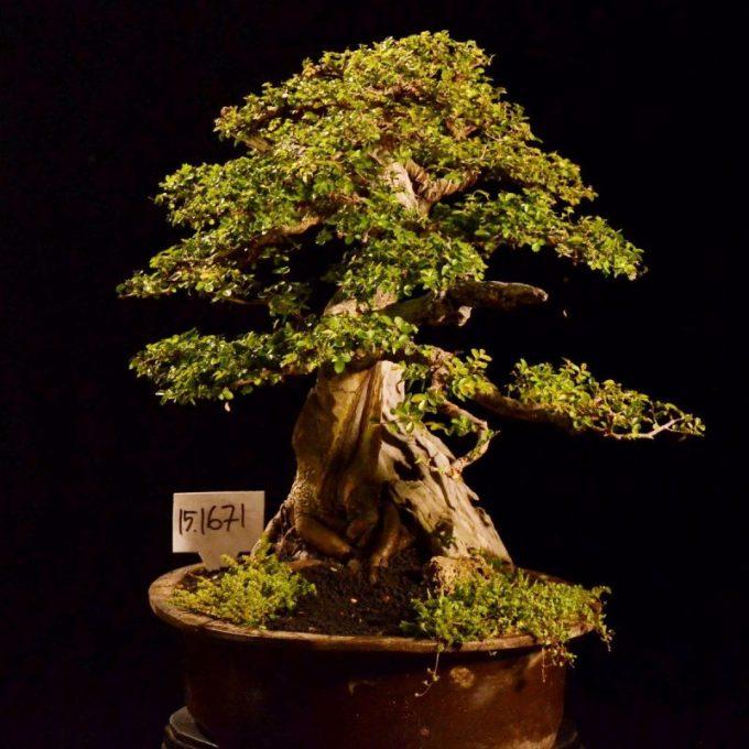 Tanaman Hias Akar. Ulmus Lancaefolia Bonsai