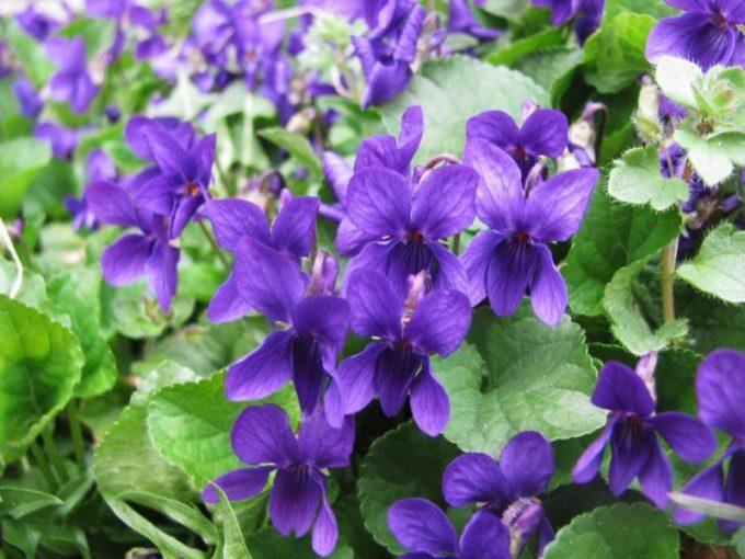 Tanaman Hias Dalam Pot. Violet