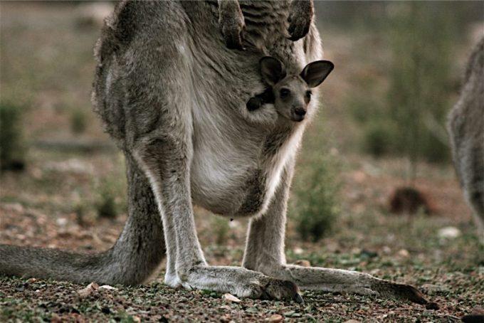 Contoh Hewan Vivipar. Kanguru