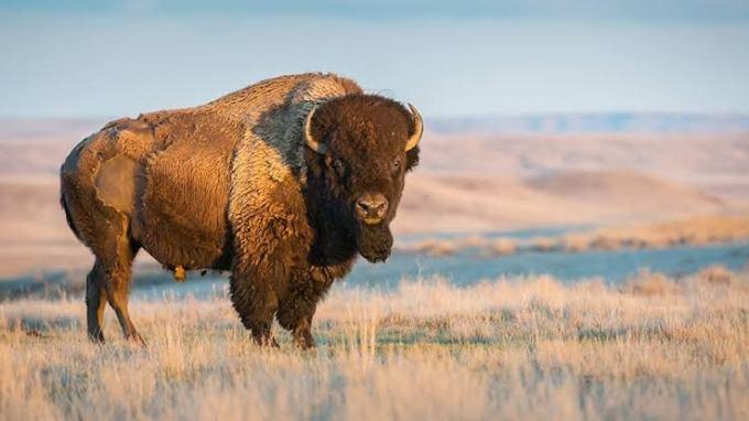 Hyhd Bison
