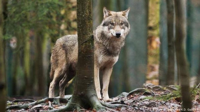 Hewan yang Hidup di Darat. Serigala