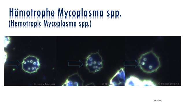 Hämotrophe Mycoplasma