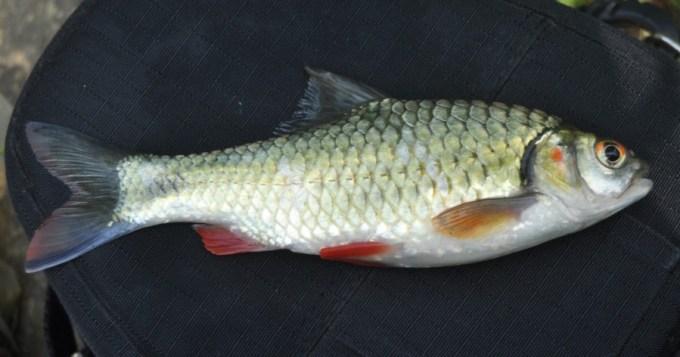 ikan air tawar brek