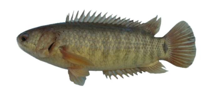 ikan air tawar betok