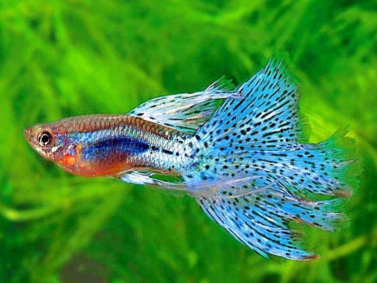 ikan air tawar guppy