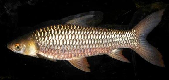 ikan hias air tawar jelewat