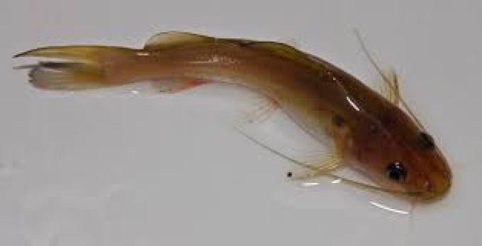 ikan air tawar ketting