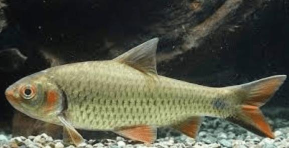 ikan air tawar nilem