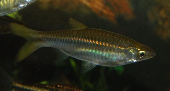 ikan air tawar padi