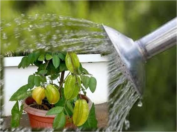 penyiraman tanaman paprika