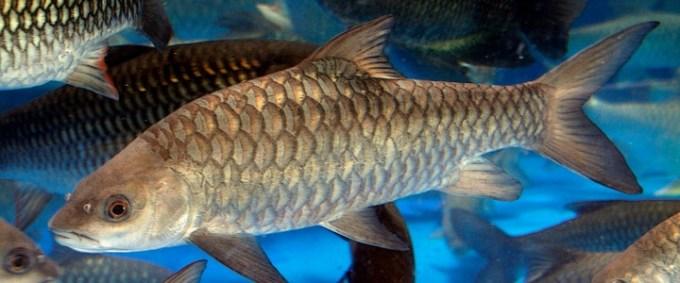 ikan air tawar semah