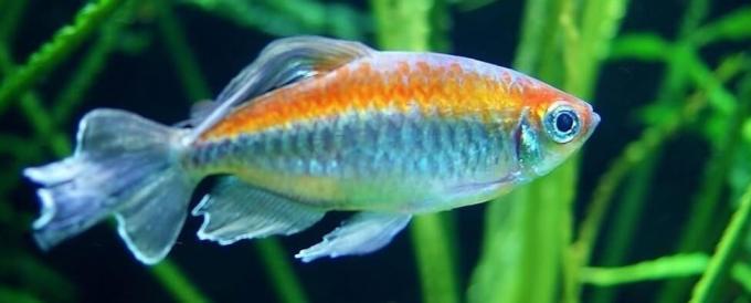jenis ikan hias air tawarcongo tetra