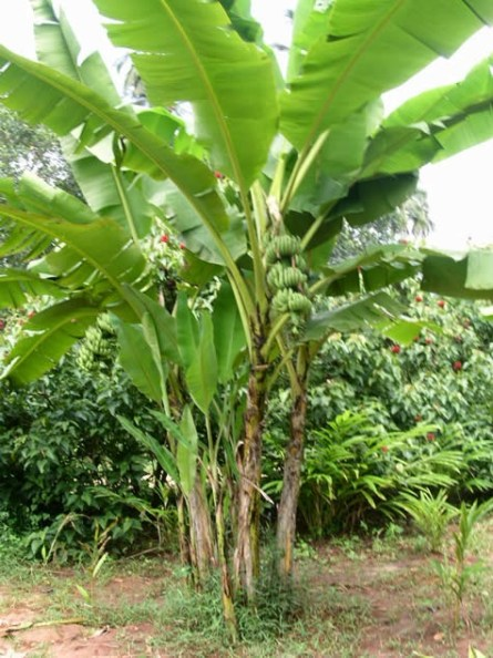 Ciri Ciri Pohon Pisang : pohon, pisang, Lukisan, Pokok, Pisang, Cikimm.com