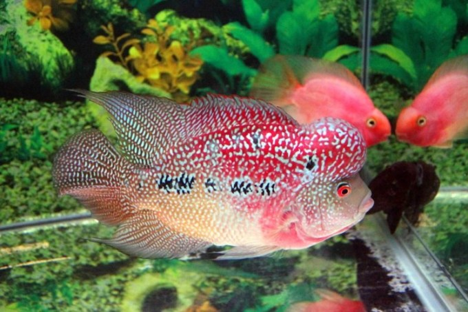 jenis ikan hias air tawar louhan