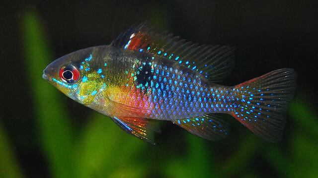 ikan hias air tawar terindah blue ram