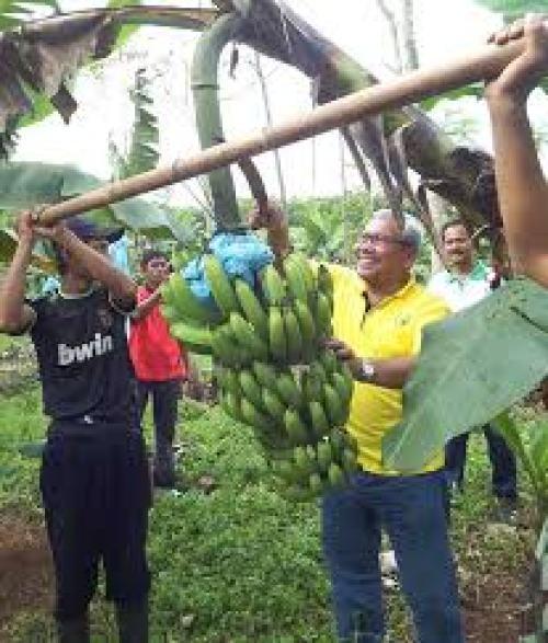 memetik pisang