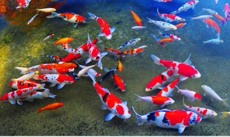 60 jenis ikan hias air tawar aquarium lengkap dari a z for Japanese garden san jose koi fish