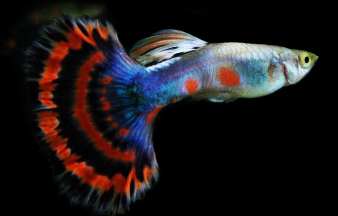 Ikan hias air tawar terindah dan cantik