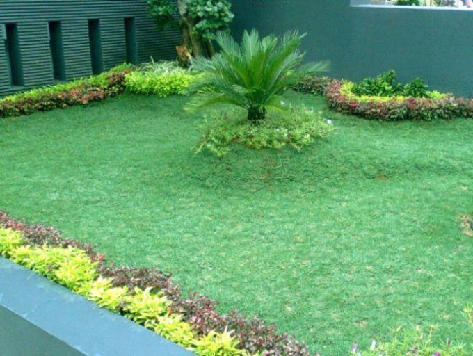rumput gajah mini taman