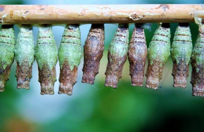 Fase kepompong (Pupa)