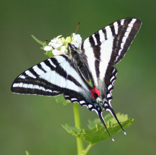The Zebra Swallowtail