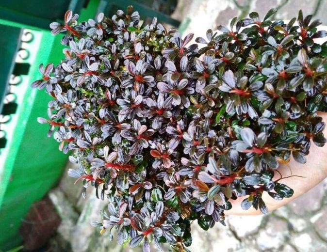 tanaman aquascape Bucephalandra Sp