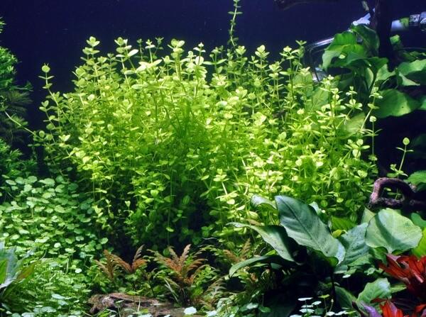 17 Jenis Tanaman Aquascape tanpa co2 yang mudah ditemukan ...