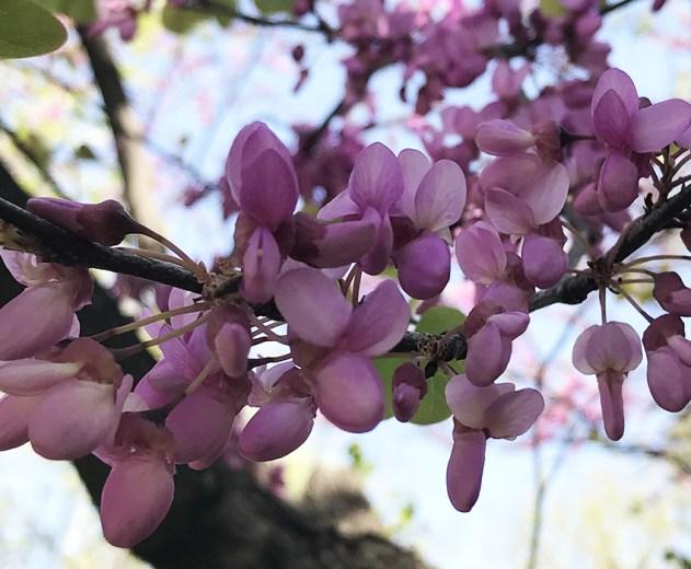 Juudaksenpuun kukat lähikuvassa kevät