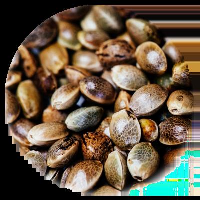 Viable Planting Hemp Seeds - Per lb