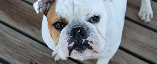 VCO for Bulldogs? Have you ever considered giving your Bulldog virgin coconut oil?