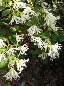 arbustes fleurs blanches