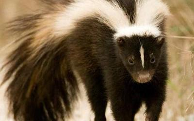 Lessons from a Skunk