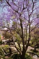 Auch hier blühen diese tollen Bäume in prächtigem lila