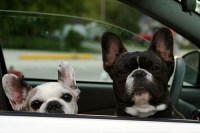 Dexter and Tessa, waiting for French Bulldog ice cream