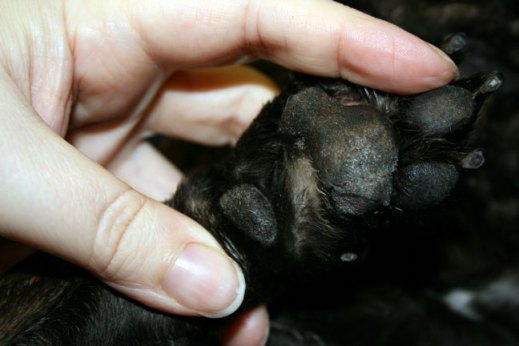 Journey's paw after treatment