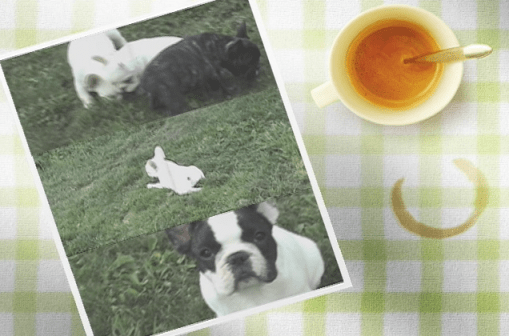 Indian Summer French Bulldog Video after the Cut