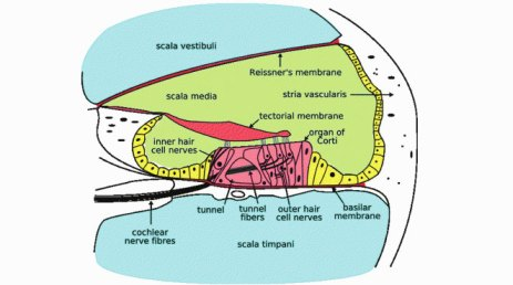 Structure of Canine Ear